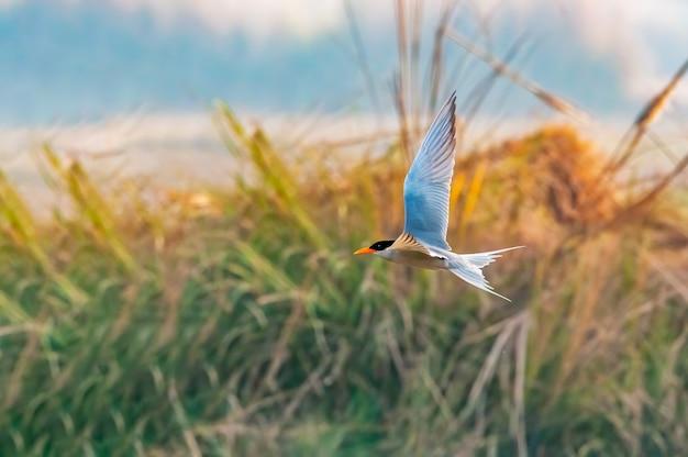Rybitwa rzeczna lata przeciw wysokiej trawie
