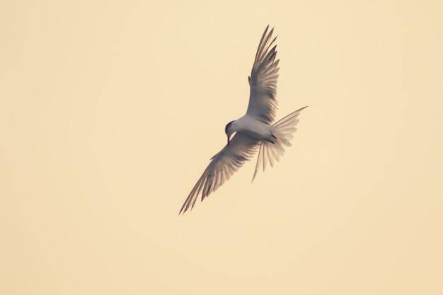 Rybitwa rzeczna lata, rybitwa rzeczna to mały ptak morski. , nazwa naukowa sternula albifrons, rybitwa rzeczna to gatunek ptaków morskich.