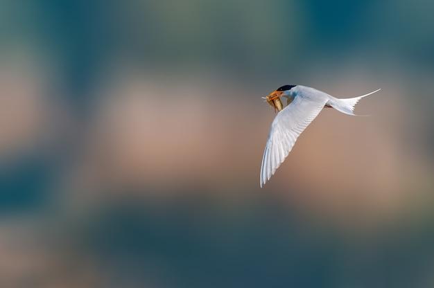 Rybitwa rzeczna latająca z połowem ryb
