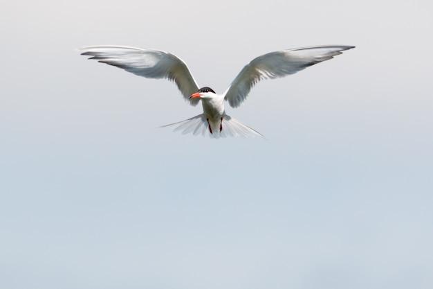Rybitwa rzeczna unosząca się w powietrzu z szeroko rozpostartymi skrzydłami w poszukiwaniu ryb
