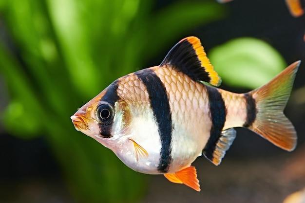 Ryby akwariowe - barbus puntius tetrazona w akwarium