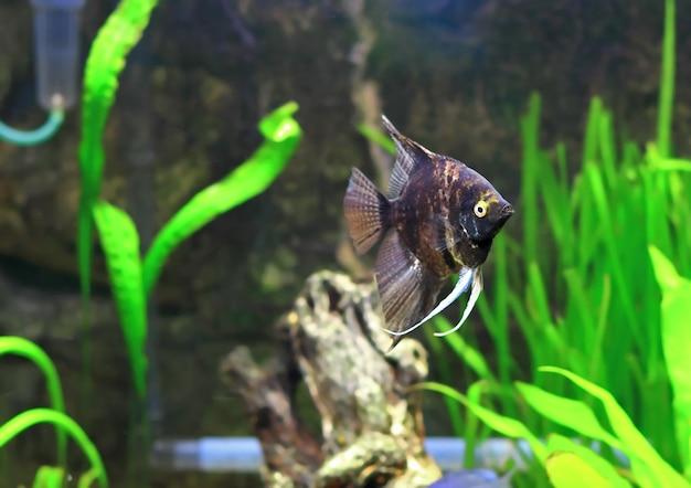 Ryby akwariowe - black scalare w wodzie.