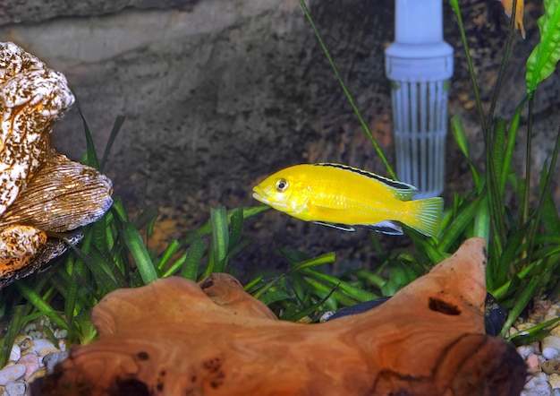 Ryby akwariowe- cichlid hummingbird yellow.(labidochromis caeruleus)