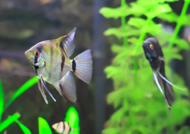 Ryby akwariowe-czarno-białe scalare w wodzie.