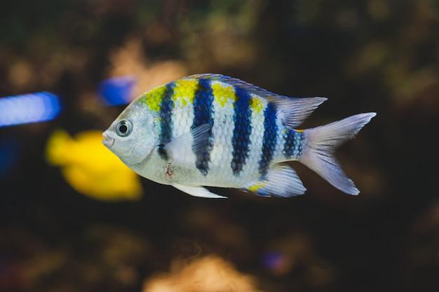Ryby akwariowe - sierżant major lub pentano. abudefduf saxatilis.