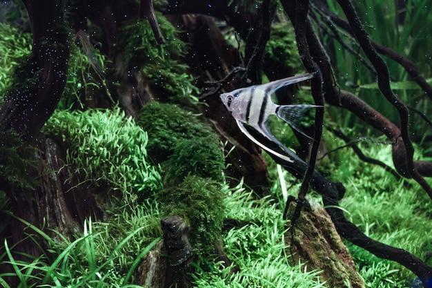 Ryby akwariowe słodkowodne srebrne anioły w akwarium tropikalnym.