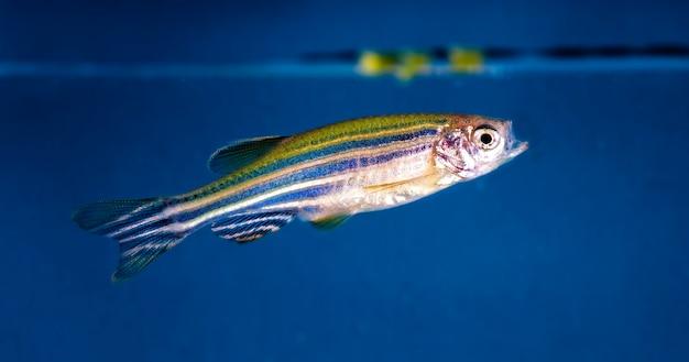 Ryby akwariowe z bliska