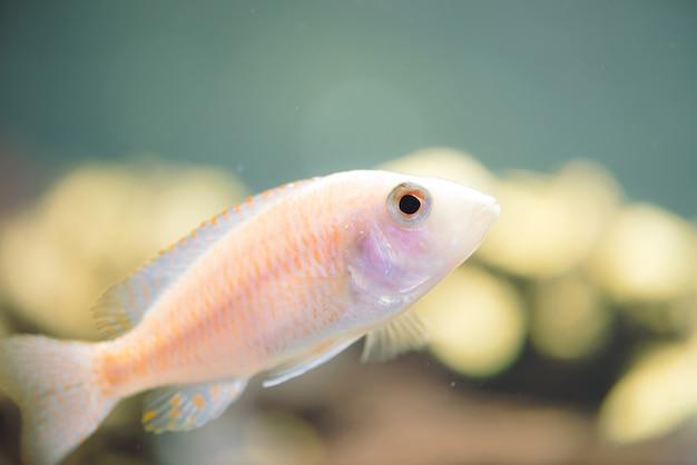 Ryby albinos zebras pływa w akwarium. metriaclima pyrsonotos, pielęgnice, mbuna w akwarium.