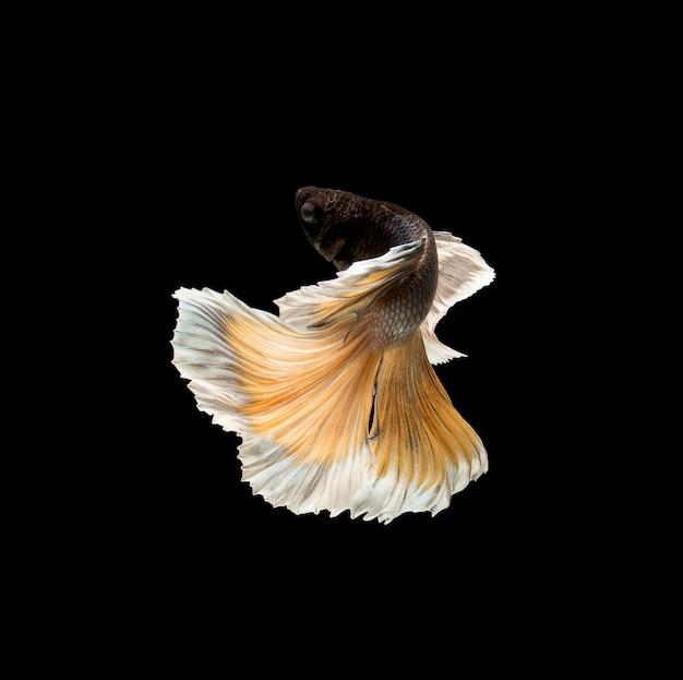 Ryby betta, walki syjamskie, betta splendens na białym na czarnym tle