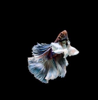 Ryby betta, walki syjamskie, betta splendens na białym tle