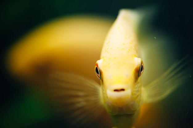 Ryby heros severus. żółta ryba.