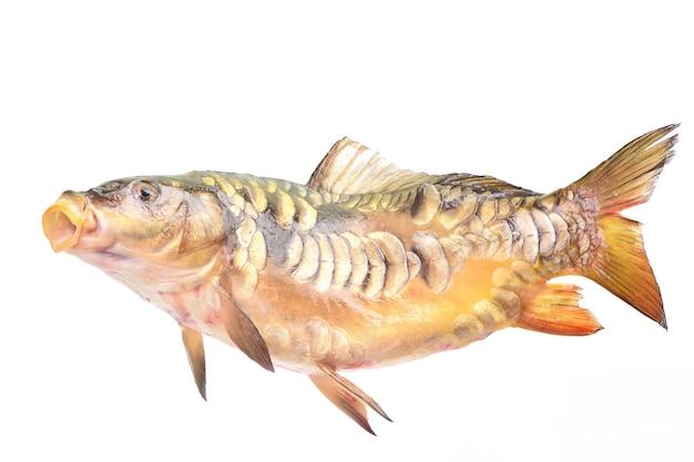 Ryby karp lustrzany