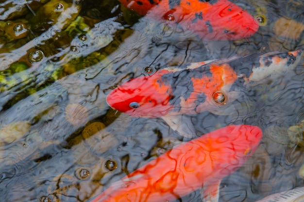 Ryby koi carp lub brocaded fish in pond z wodą odbijają jasne, czerwone, żywe kolory