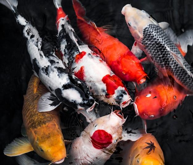 Ryby koi widok z góry