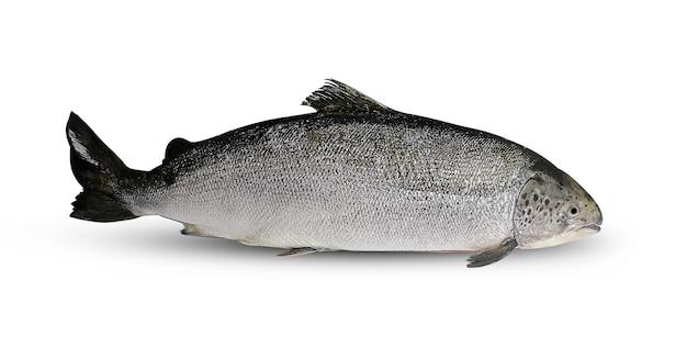 Ryby łosoś na białym tle
