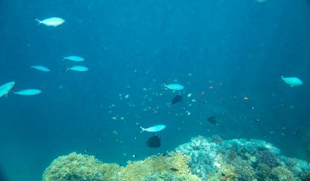 Ryby morskie w pobliżu koralowców pod wodą