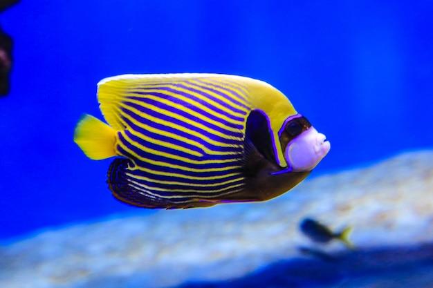 Ryby motyle pływają w błękitnej wodzie raf koralowych są widoczne w tle