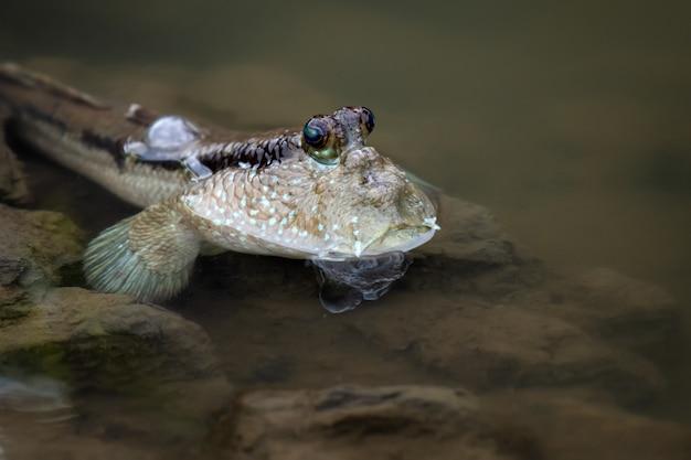 Ryby poskoczek mułowy w morskim obszarze namorzynowym