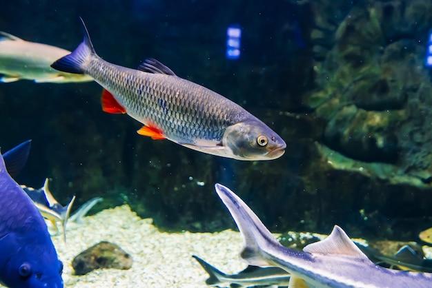 Ryby rudilus pływają pod błękitną wodą