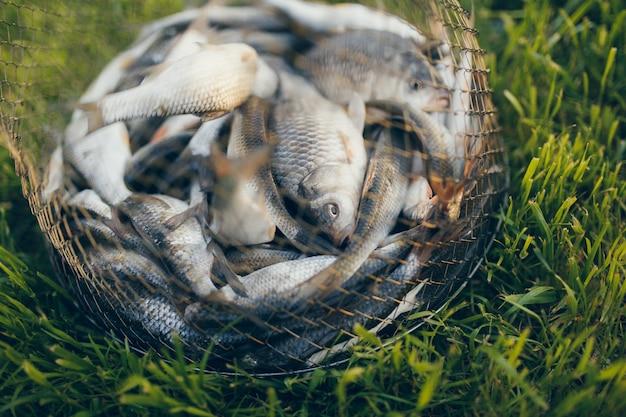 Ryby słodkowodne właśnie wyjęte z wody. łowienie ryb - pospolita wobla
