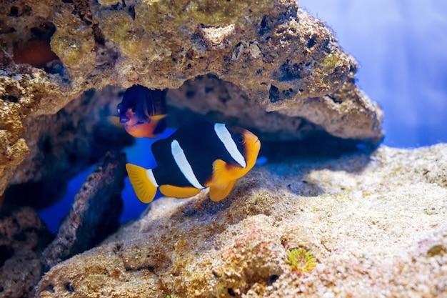 Ryby tropikalne pływać w pobliżu rafy koralowej. podwodne życie.