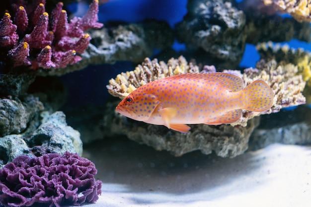 Ryby tropikalne pływają w pobliżu rafy koralowej. selektywne ustawianie ostrości