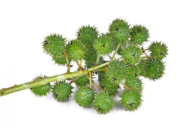 Rycynowa nafciana roślina na białym tle