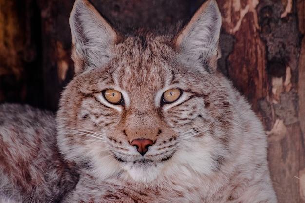 Ryś eurazjatycki, (lynx lynx), twarz bardzo blisko patrząc w twoje oczy
