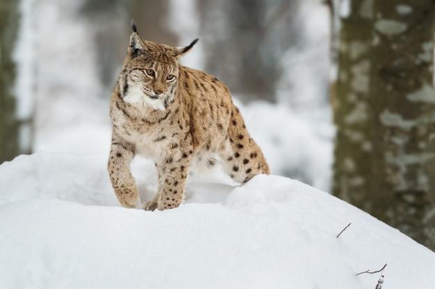 Ryś europejski w zaśnieżonym lesie zimą