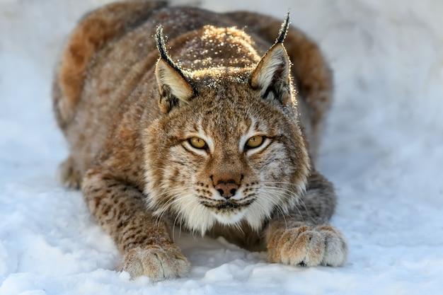 Ryś na śniegu. scena dzikiej przyrody z zimowej natury. dzikie zwierzę w naturalnym środowisku