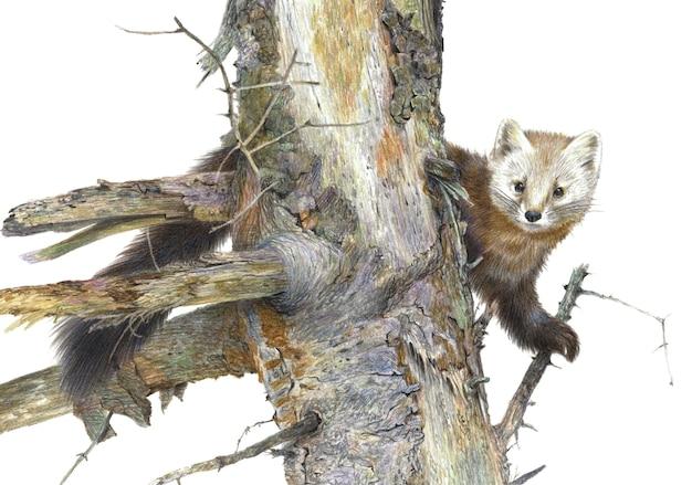 Rysunek ołówkiem kolor. kuna na starym drzewie pojedynczo na białym tle. realistyczna ilustracja