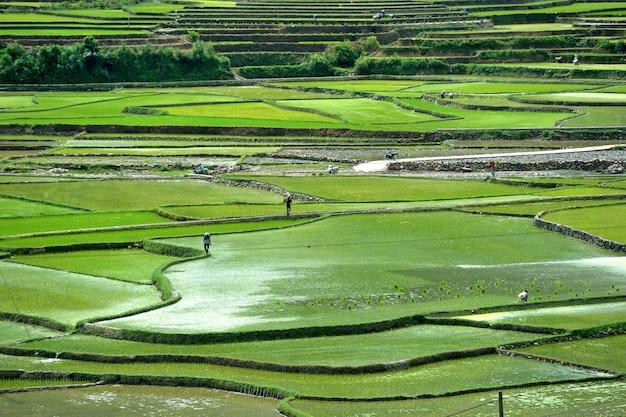 Ryż górski w wietnamie