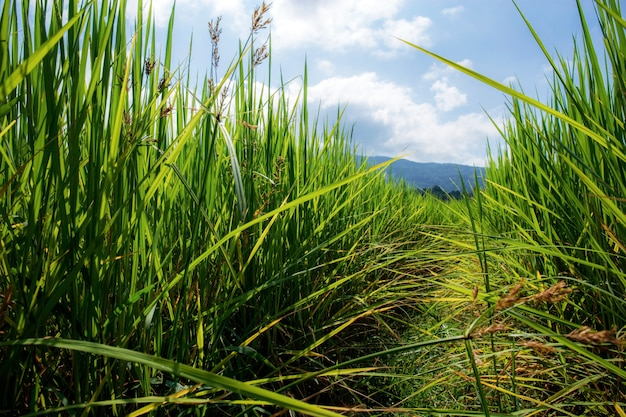 Ryż na polu z światłem słonecznym.