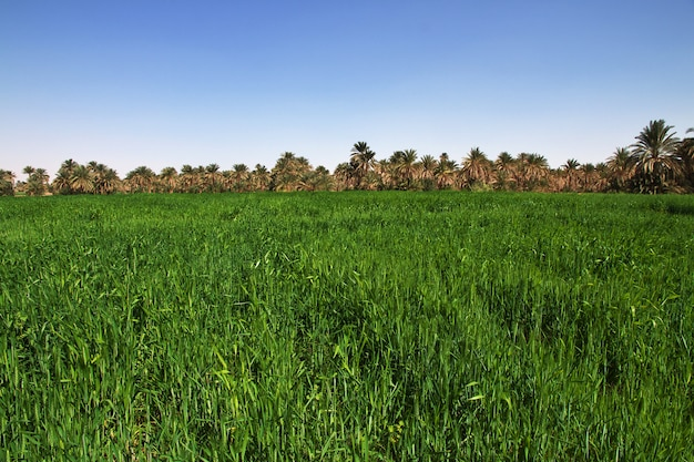 Ryż w małej wiosce na nilu, sudan