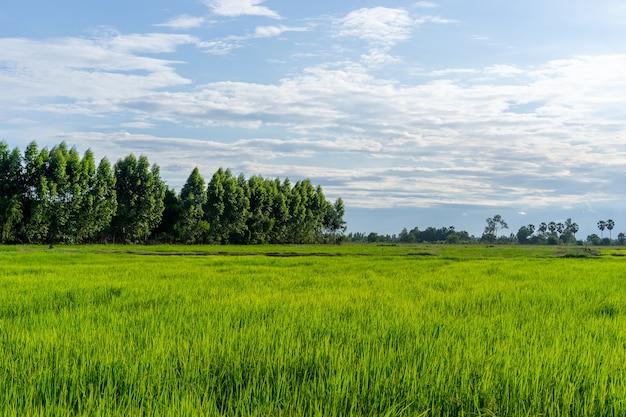 Ryż zielone pole z drzewem i niebem w okolicy