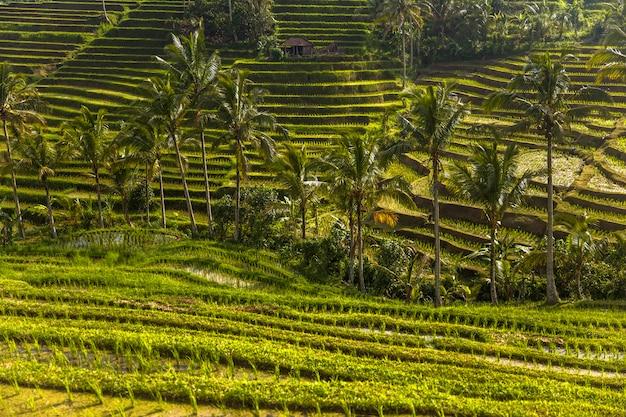 Ryżowe pola jatiluwih w południowo-wschodniej części bali