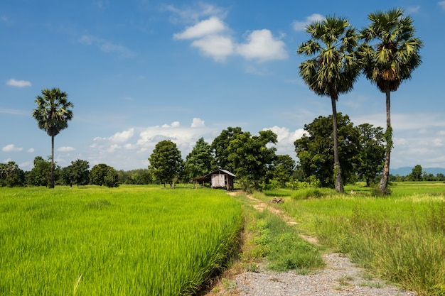 Ryżowe pola ryżowe i chata rolnika