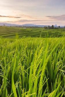 Ryżowe pole o zachodzie słońca