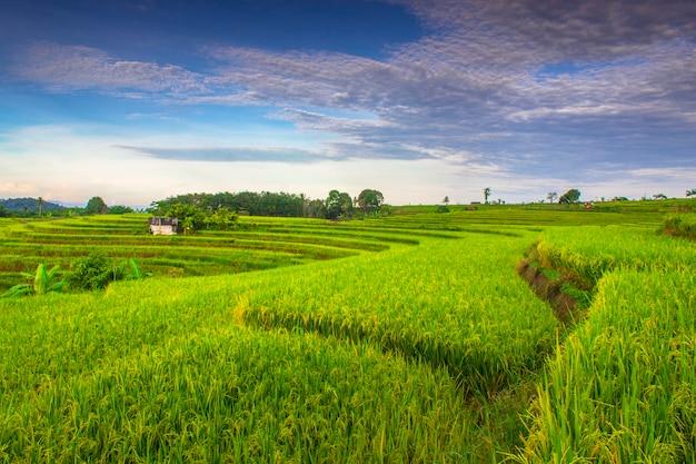 Ryżowe pole tekstury z zielonymi tarasami ryżowymi