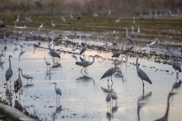 Ryżowe pole w albufera w walencji pełne ptaków w dzień uprawny o zachodzie słońca.