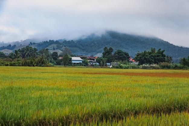 Ryżowe pole w tajlandii
