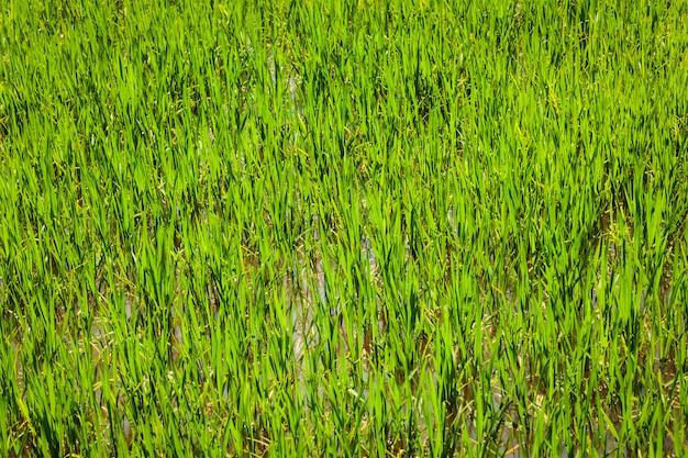 Ryżowego irlandczyka pola zakończenie up