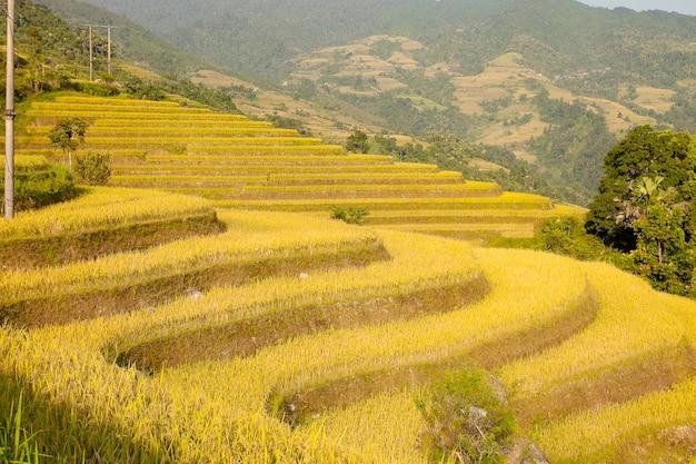 Ryżowi pola na tarasowatym khuoi mój, brzęczenia giang prowincja, północny wietnam