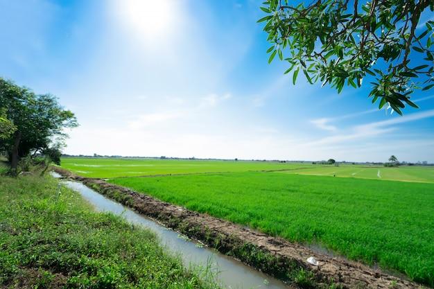Ryżowi pola przy przy niebieskim niebem. piękno natury