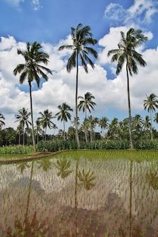 Ryżowi pola w wiosce indonezja