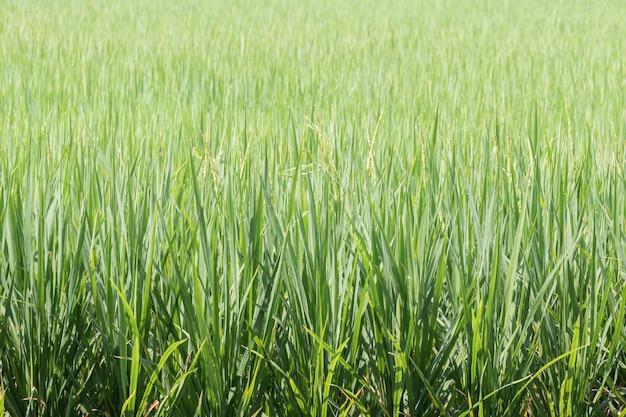 Ryżu pola zielone tło.
