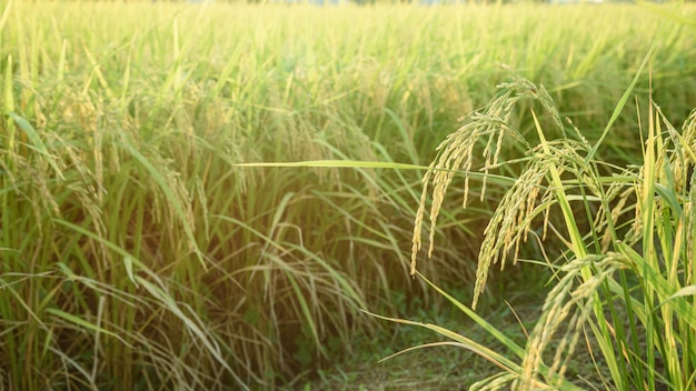 Ryżu pole (tajlandzki jaśminowy ryż), północ tajlandia.