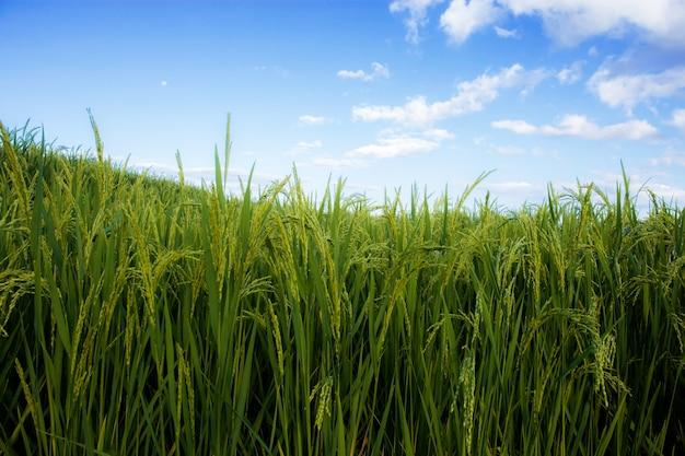 Ryżu pole z pięknym przy niebem.