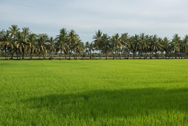 Ryżu śródpolna i kokosowego drzewa sceneria w wsi tajlandia