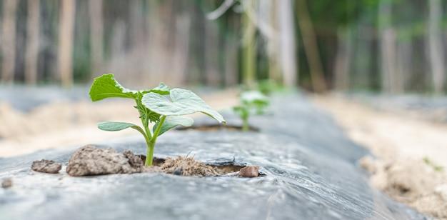 Rząd dziecka drzewo na ziemi zakrywającej plastikowym lub ściółkowym filmem w rolnictwie.